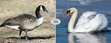 Goose vs Swan vs Duck fight comparison- who will win ...